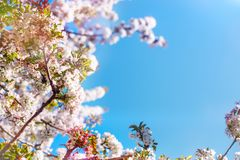 White cherry blossoms in spring sun with blue sky and tender bokeh. stock photography