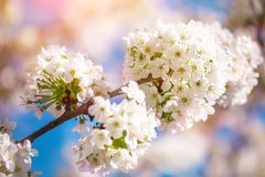 White cherry blossoms in spring sun with blue sky and tender bokeh. Royalty Free Stock Photos