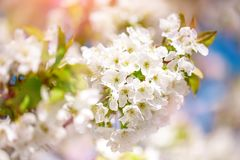 White cherry blossoms in spring sun with blue sky and tender bokeh. Royalty Free Stock Images