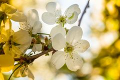 White cherry blossoms in spring sun with sky background Royalty Free Stock Photo