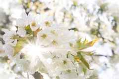 White cherry blossoms in spring sun with sunbeams and soft bokeh Royalty Free Stock Photos