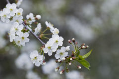 White cherry blossoms, sunshine, Macro Royalty Free Stock Photos