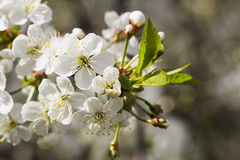 White cherry blossoms, sunshine, Macro Royalty Free Stock Images