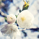 White Cherry Blossoms. In a tree branch Royalty Free Stock Image