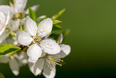 White cherry blossoms on tree branch in spring Royalty Free Stock Image