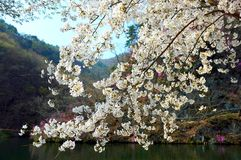 White cherry blossoms. On a tree near a lake Stock Images