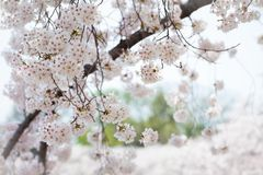 White Cherry Blossoms Trees Royalty Free Stock Photography