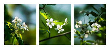 White Cherry Blossoms Triptych Stock Image