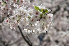 White cherry blossoms Stock Photos
