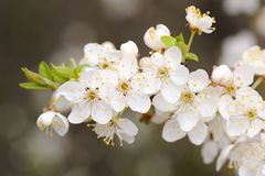 White cherry blossoms and young leaves on dark background Stock Image