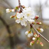 White cherry blossoms and young leaves on dark background Royalty Free Stock Images