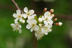 White cherry blossoms and young leaves on green background Royalty Free Stock Image