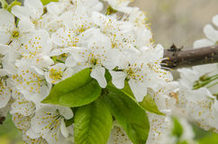 White cherry branch blossom on the spring breeze Stock Images