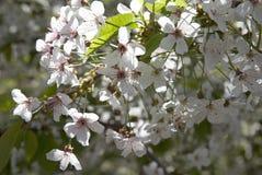 White cherry branch Royalty Free Stock Photo