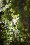 White cherry brunch. Blooming white cherry, close-up, surrounded by foliage Royalty Free Stock Images