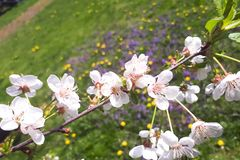White cherry cerasus vulgaris mill blossoms. On the meadow flowers background stock image