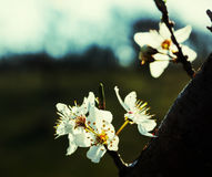 White cherry flower blossom Stock Photos