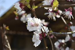 White cherry flower. White cherry blossom on a flowering tree Royalty Free Stock Photography