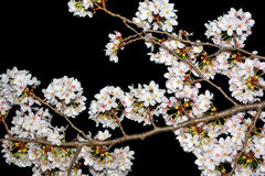 White cherry flower blossoms photographed at night against a black sky background Royalty Free Stock Photos