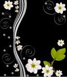 White cherry flower design on black Stock Photos