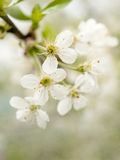 White cherry flower Royalty Free Stock Photos