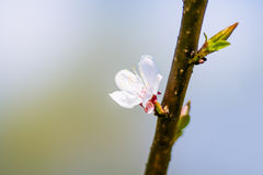 White Cherry Flower Stock Images