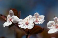 White cherry flower in spring Royalty Free Stock Photos