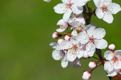 White cherry flower in spring Royalty Free Stock Images