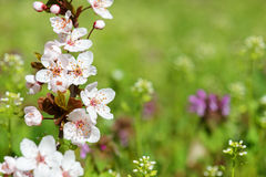 White cherry flower in spring Royalty Free Stock Photos