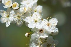 White cherry flower in spring Stock Photo