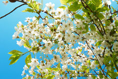 White cherry flowers Stock Images