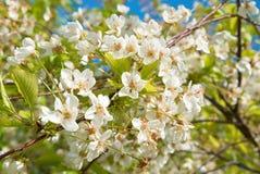 White cherry flowers Stock Image