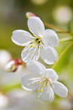 White Cherry Flowers royalty free stock images