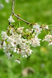 White cherry flowers bloom. On spring day stock images