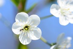 White cherry flowers in bloom. Macro view royalty free stock photos
