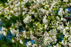 White cherry flowers blossom against the background of blue sky. A lot of white flowers in spring garden. Selective focus stock photos