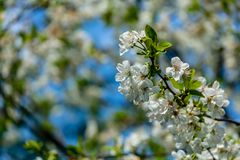 White cherry flowers blossom against the background of blue sky. A lot of white flowers in spring garden. Selective focus royalty free stock images