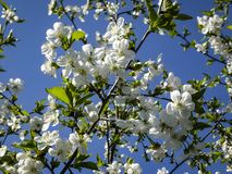 White cherry flowers blossom against the background of a blue sky. A lot of white flowers in sunny spring day stock photo