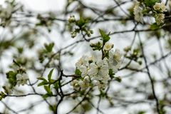 White cherry flowers blossom against the background of sky. A lot of white flowers in spring dayin garden. Selective focus stock photography
