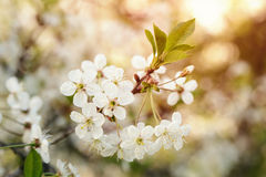 White cherry flowers blossom in sunset Stock Images