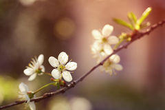 White cherry flowers blossom in sunset Royalty Free Stock Photography
