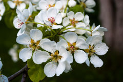 White cherry flowers. White cherry flowers on blurred dark background Stock Images