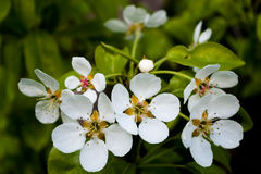 White cherry flowers. White cherry flowers on blurred green background Royalty Free Stock Photo