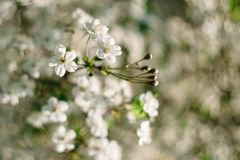 White cherry flowers close up with beautiful bokeh on background stock photo