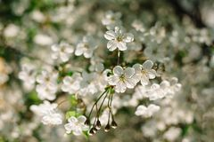 White cherry flowers close up with beautiful bokeh on background royalty free stock photography