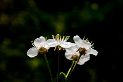 White cherry flowers. Royalty Free Stock Images