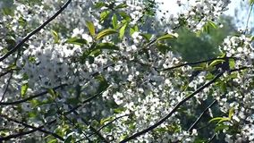 White cherry flowers in the garden stock video