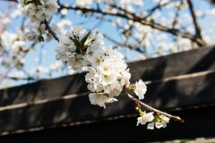 White cherry flowers over blue clear sky Stock Image