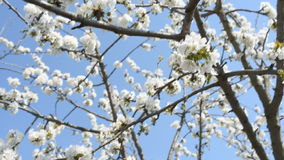 White cherry flowers over blue clear sky stock footage