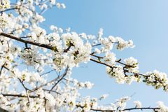 White cherry flowers over blue clear sky Royalty Free Stock Photography